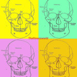 ANATOMY OF THE HEAD AND NECK AND HOW DOES IT RELATE TO DENTISTRY
