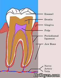 Dental Terminology And Their Uses 1