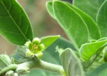 What You Need to Know about Ashwagandha
