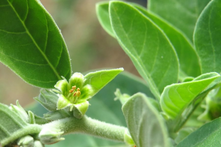 Ashwagandha: The Ancient Superherb That Lowers Cholesterol and ...