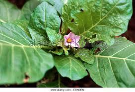 Health Benefits of Garden Egg Leaves