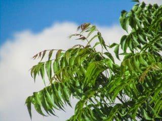 Neem - Nigerian Herbs for Hair Growth