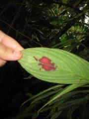 Blood of Jesus leaf