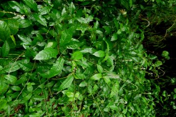 Petiveria alliacea - yoruba herb for PID